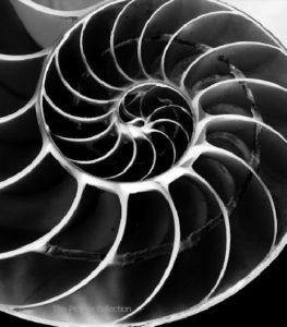 137/B - Andreas Feininger, Chamberd Nautilus shell 60x50/55,5x45,3