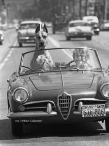 150 - Ralph Crane, Great Dane 'Thor' riding in sports car, 1961