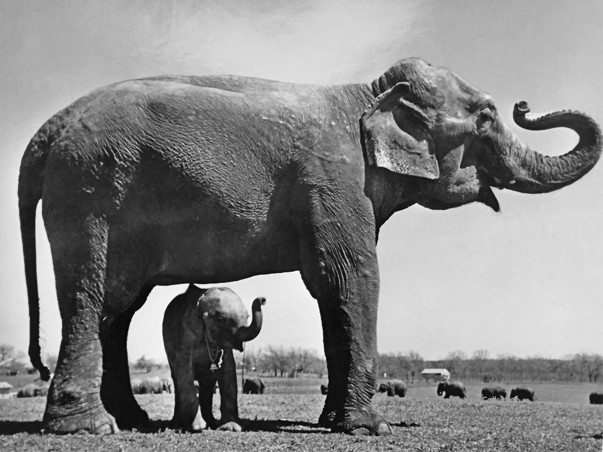 146 - Cornell Capa, Baby circus elephant standing under full-size elephant, 1948 40,5x50,5/39,5x48