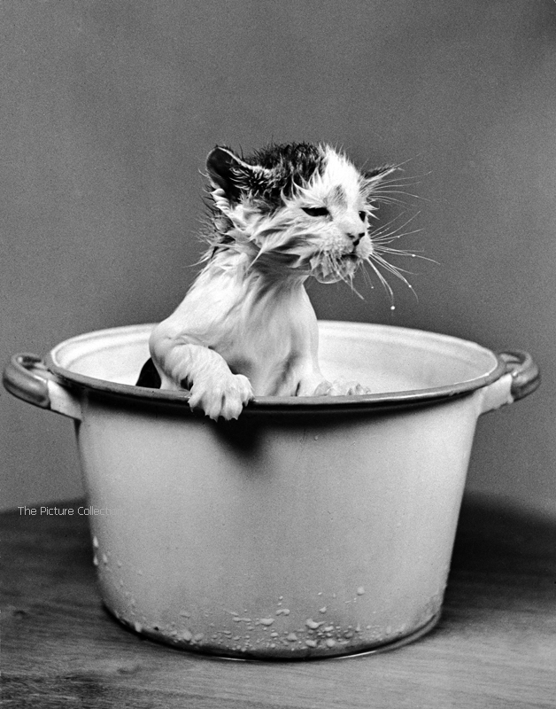 Nina Leen (Kitten emerging from pot of milk after falling into it) US 1940